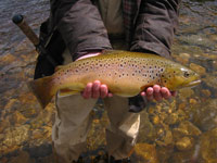 Stunning Brown Trout - River Wharfe near Burnsall